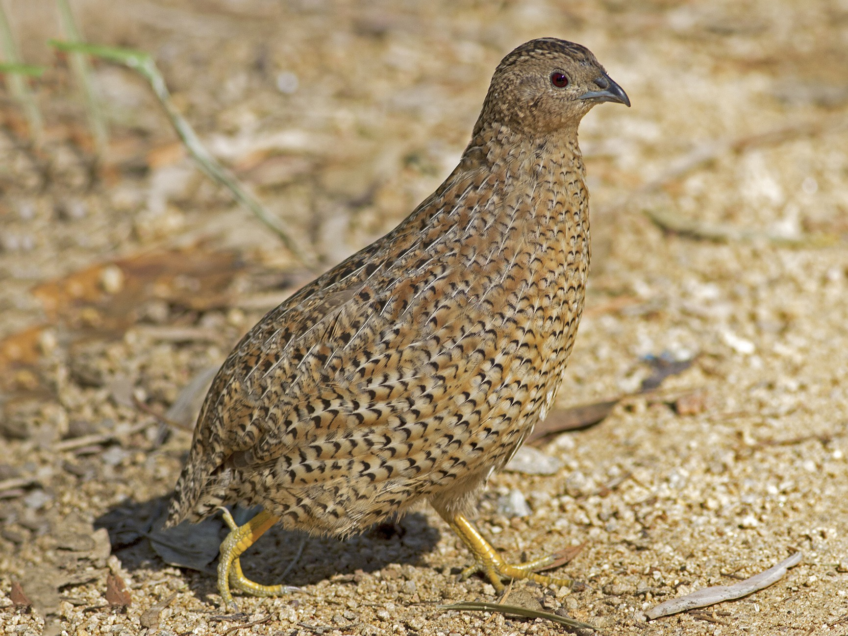 Brown Quail - Stephen Murray