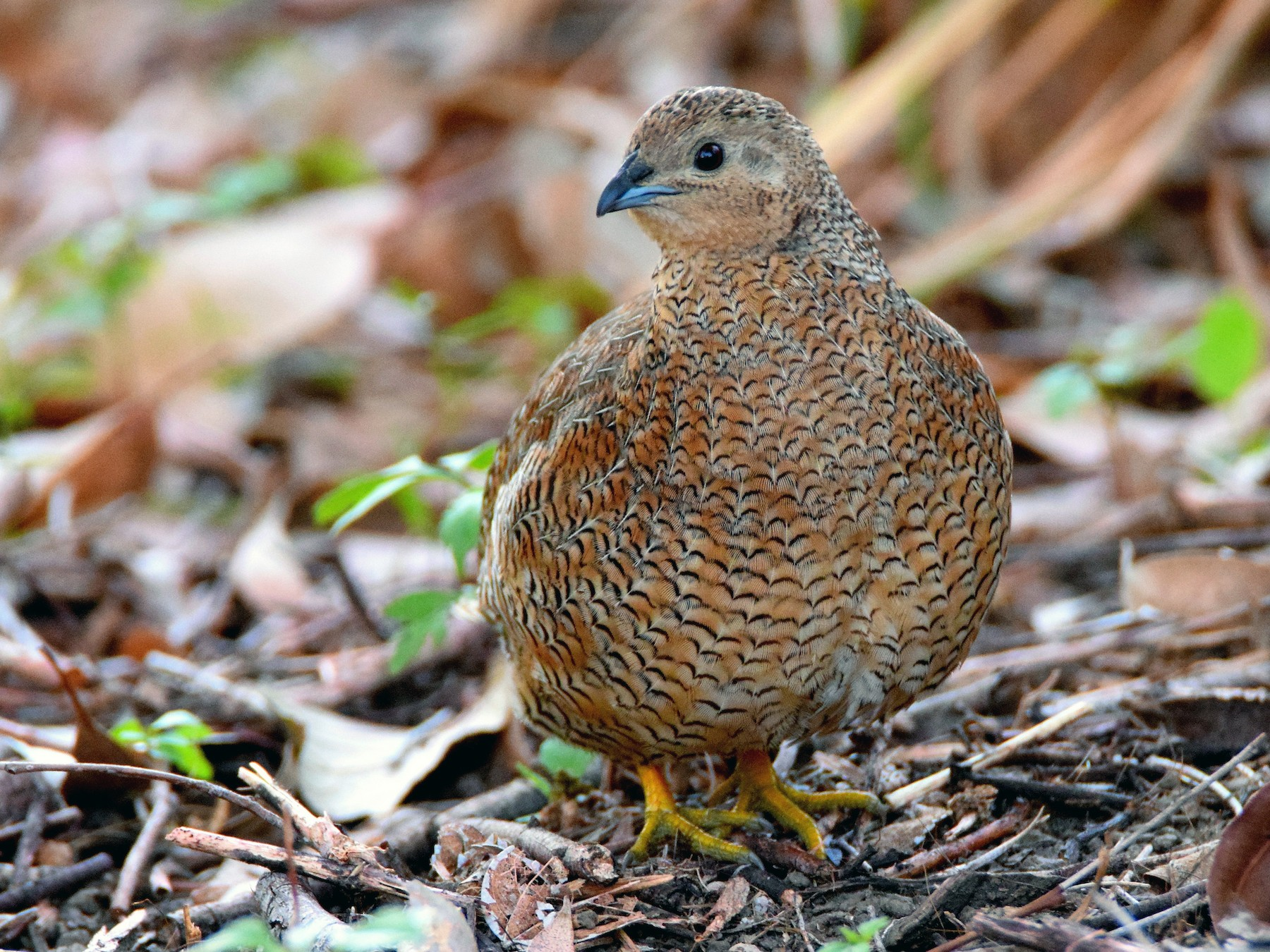 Brown Quail - Chris Wills