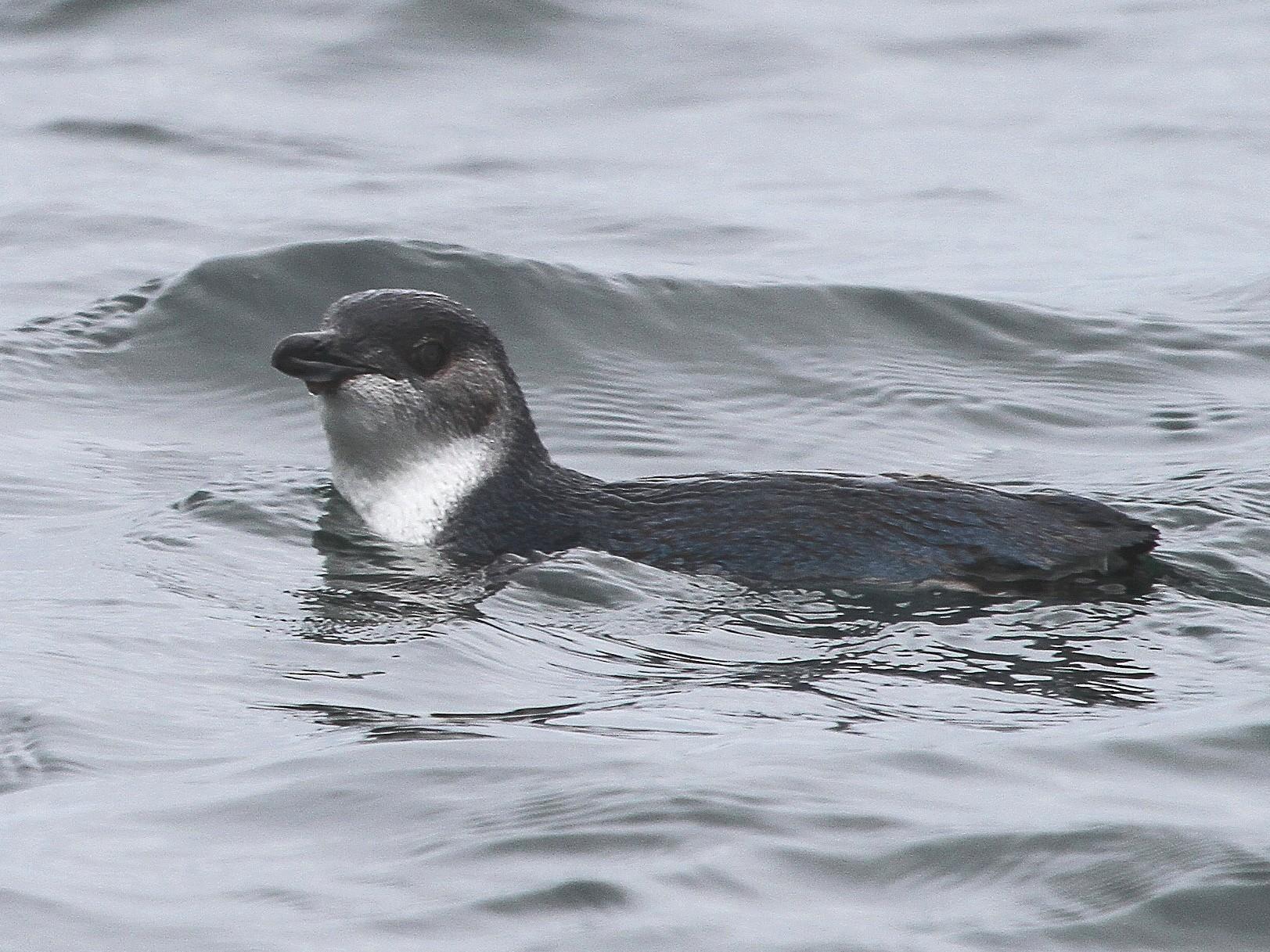 Little Penguin - Stephen Gast