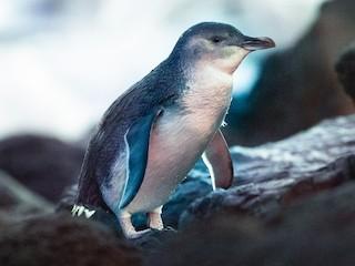- Little Penguin