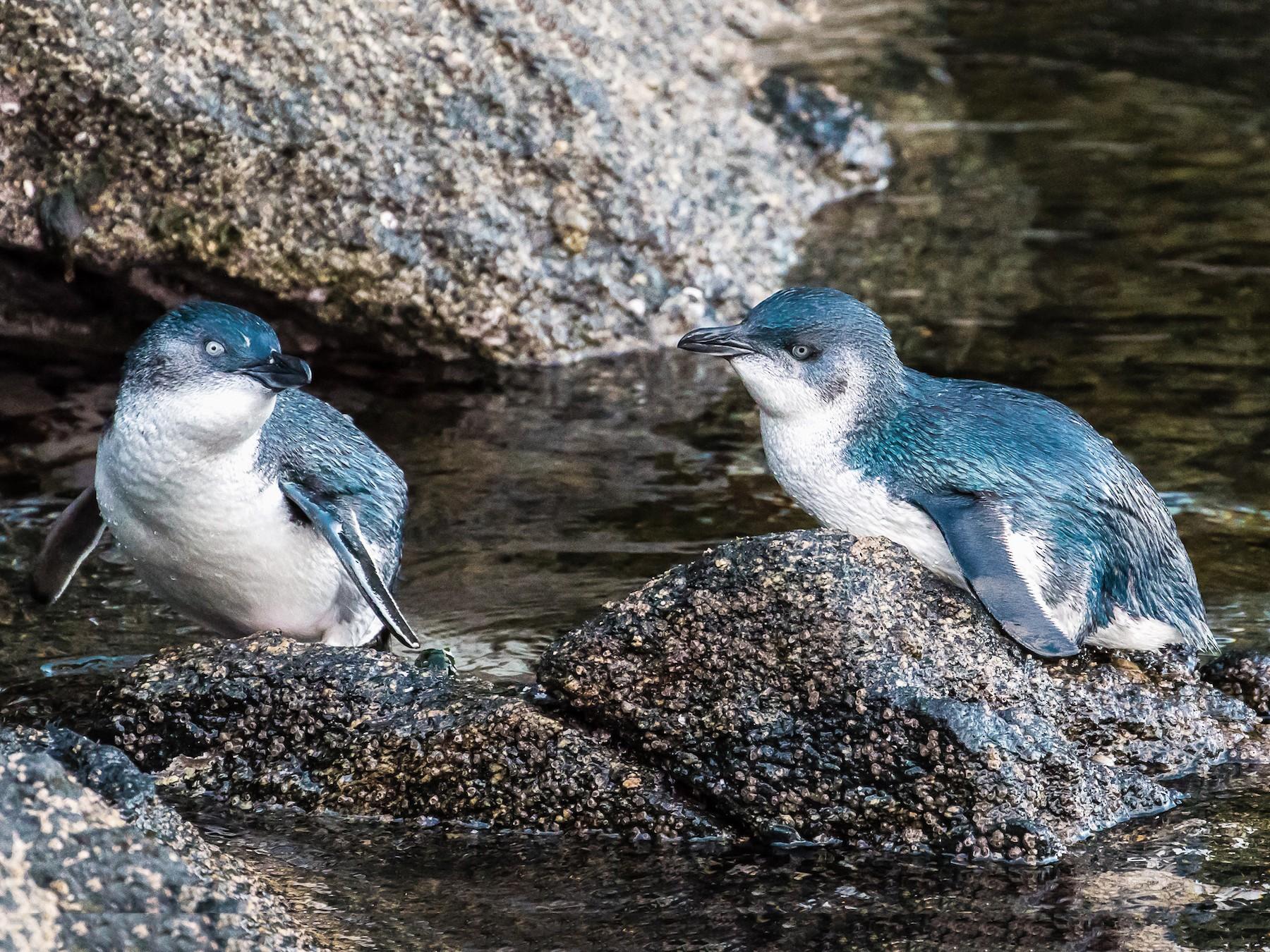 Little Penguin - graichen & recer