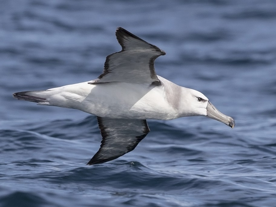 White-capped Albatross - Niall D Perrins