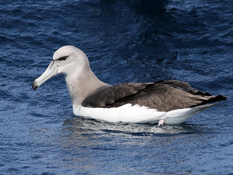 White-capped Albatross - Pavel Parkhaev