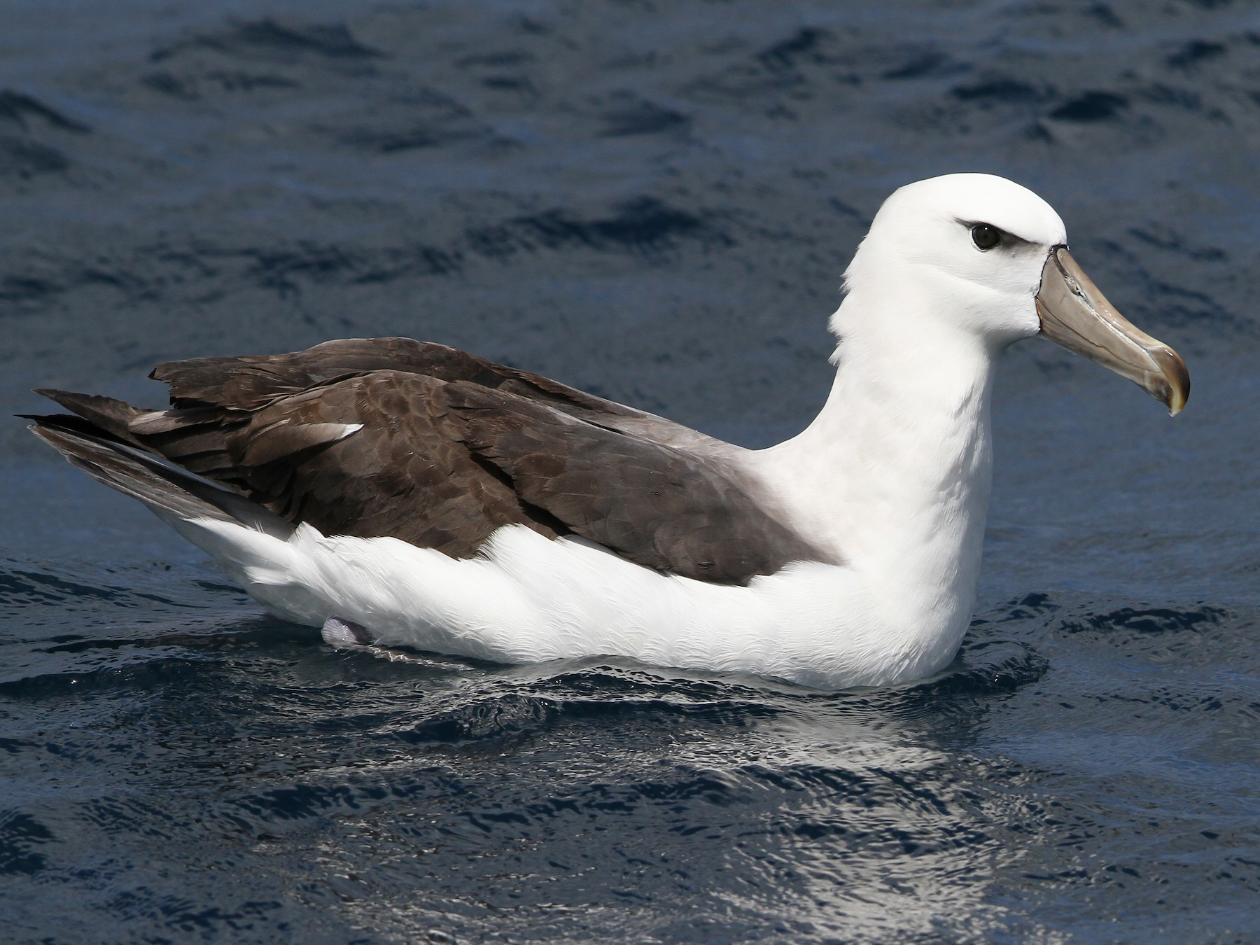White-capped Albatross - Christoph Moning