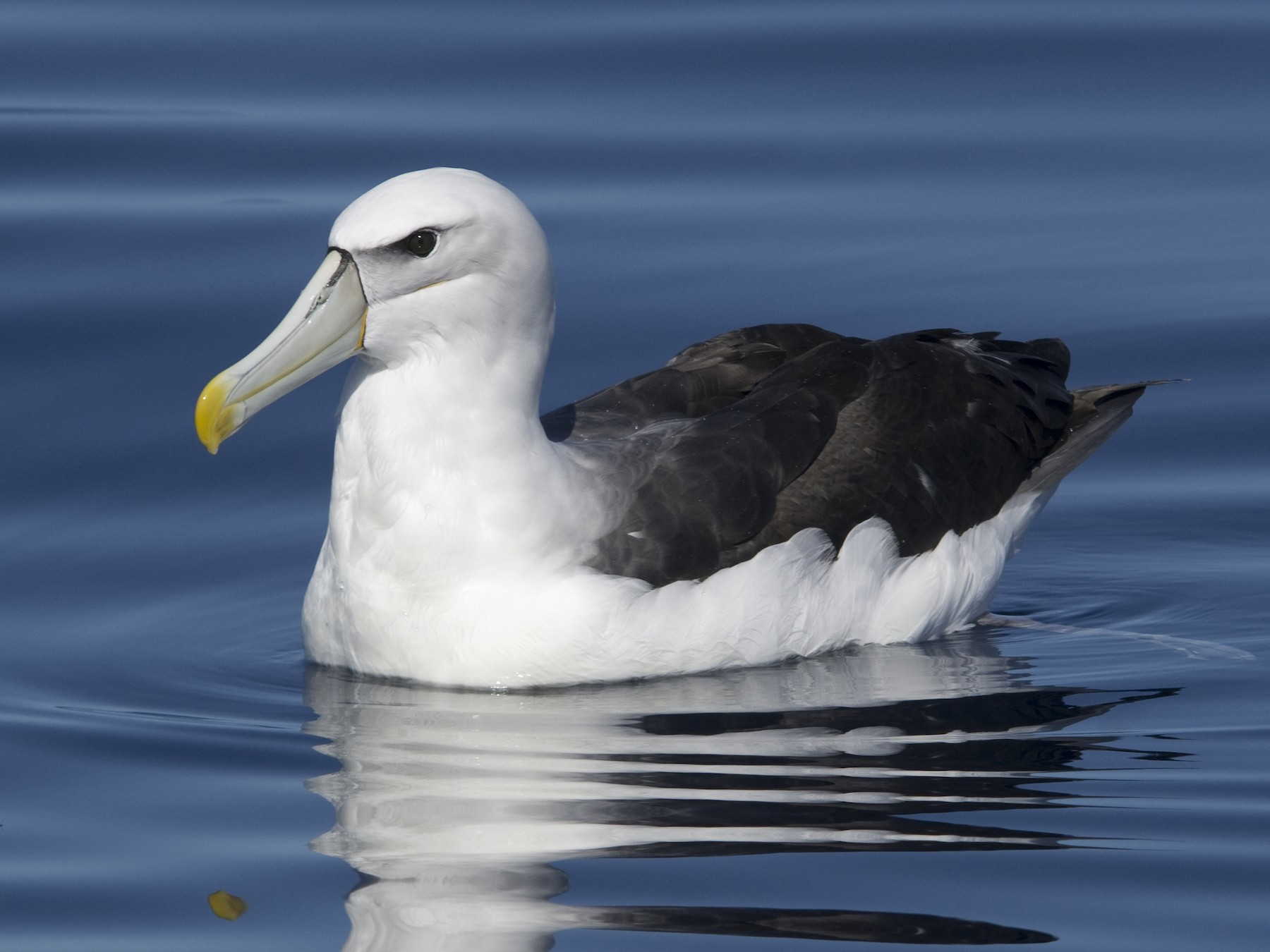 White-capped Albatross - Owen Lishmund