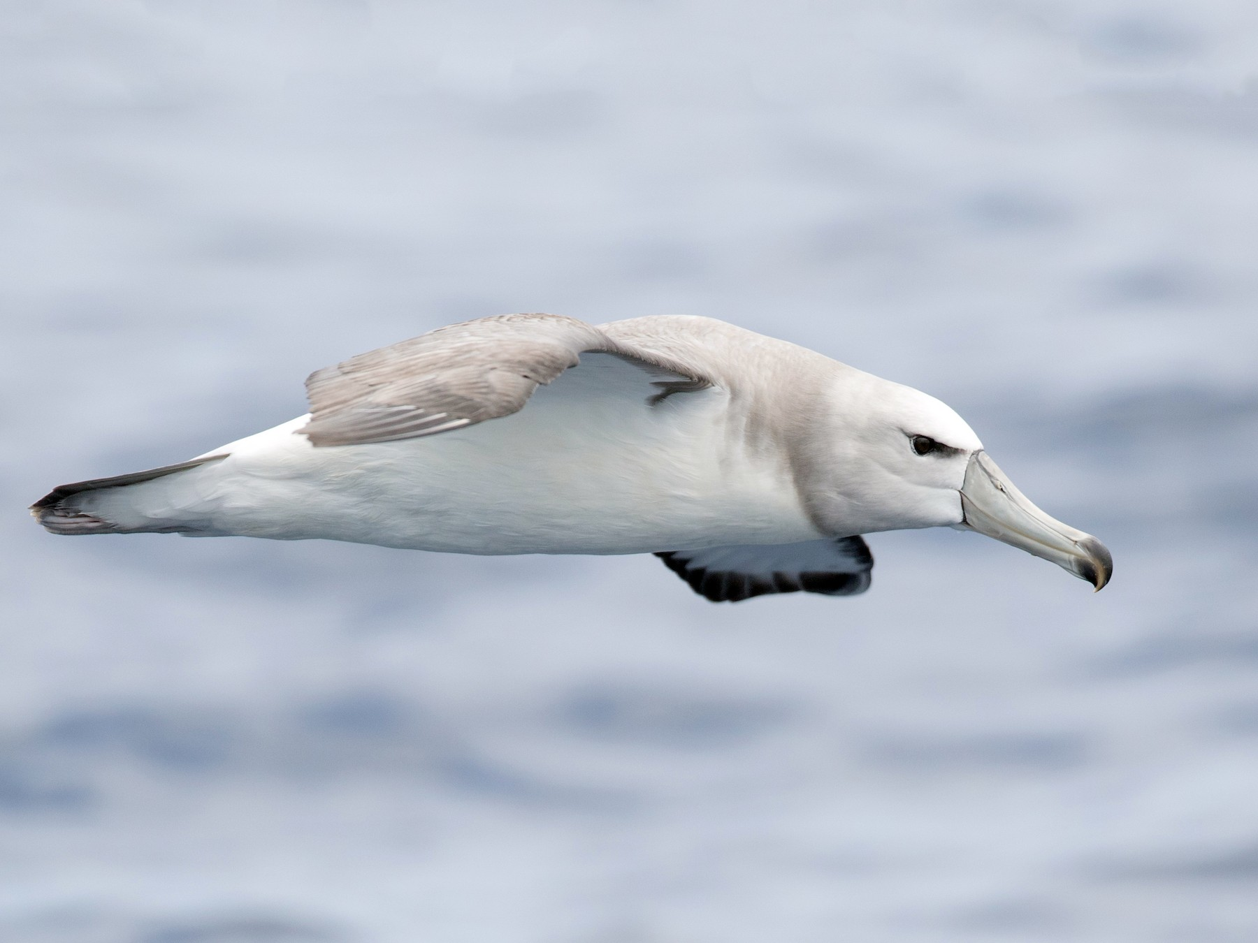 White-capped Albatross - Ian Davies