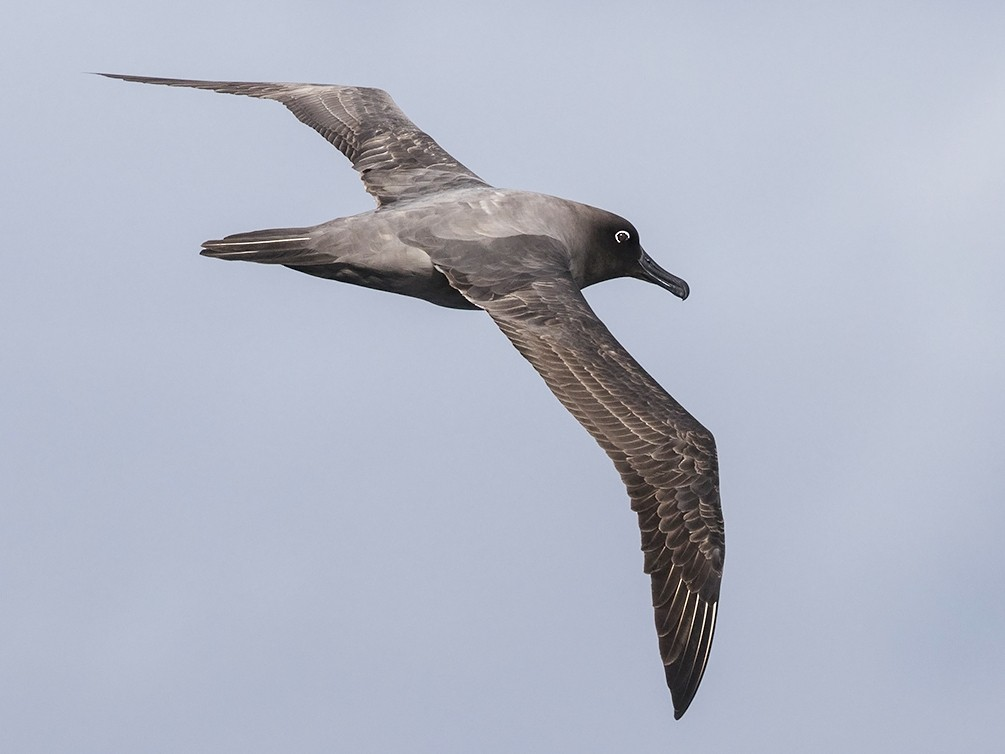 Light-mantled Albatross - Niall D Perrins