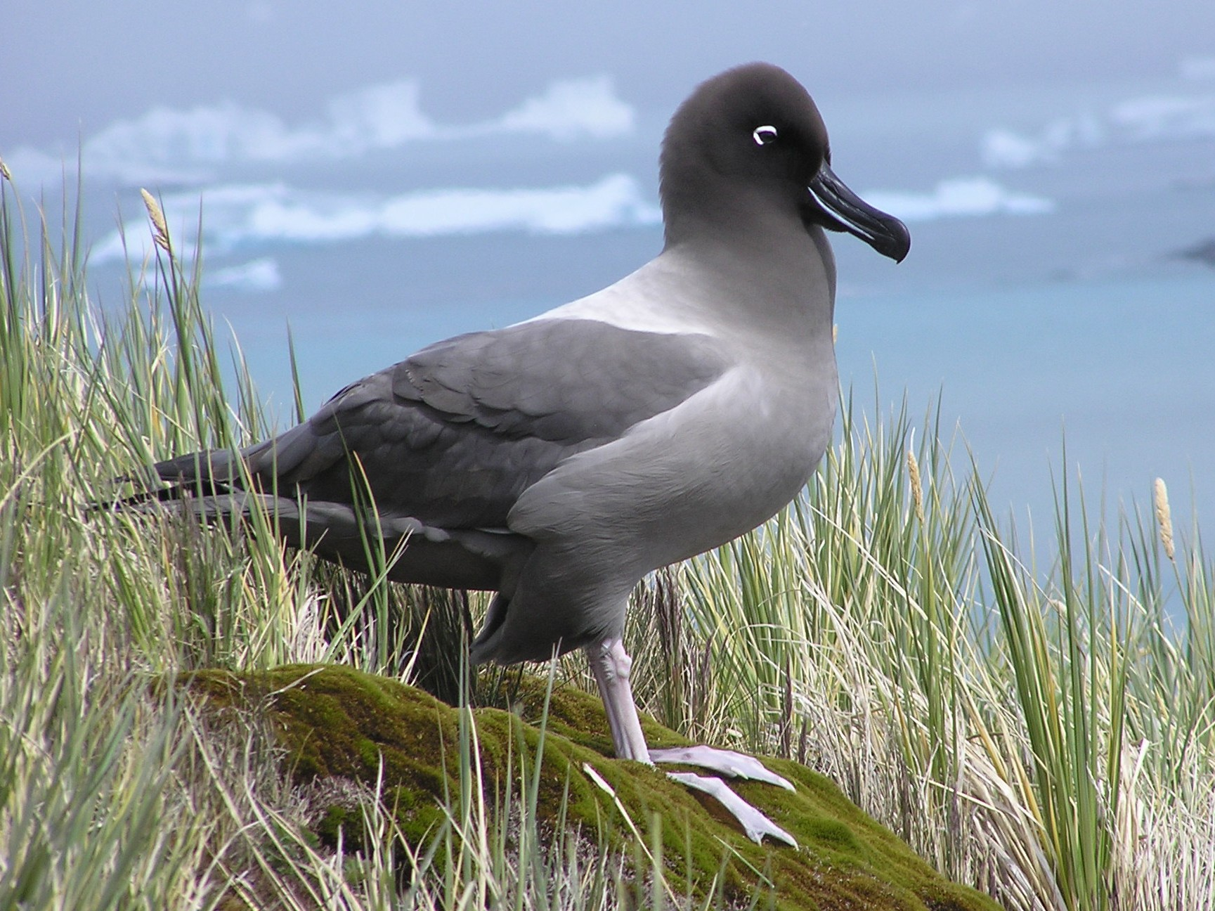 Light-mantled Albatross - James (Jim) Holmes