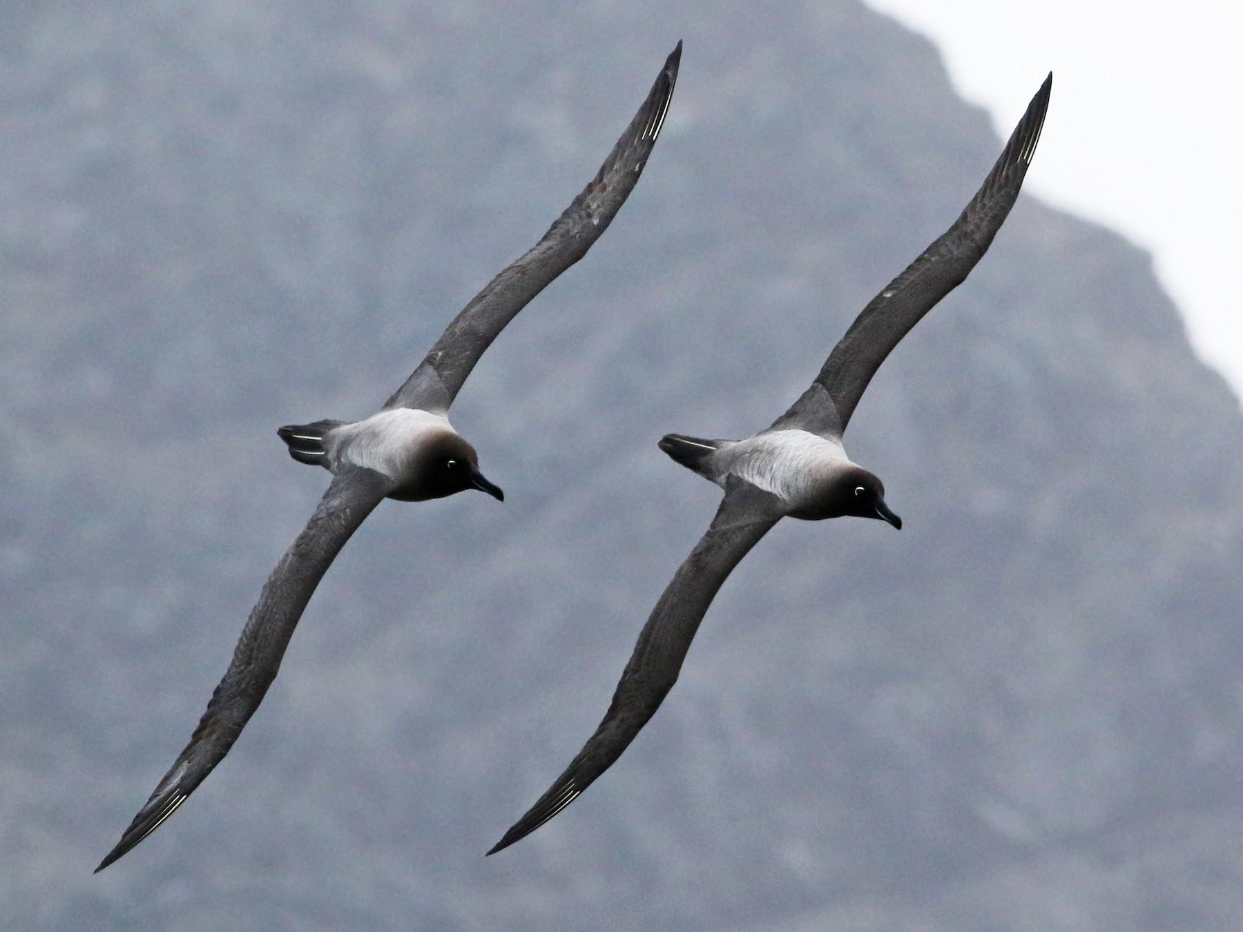 Light-mantled Albatross - Andrew Spencer