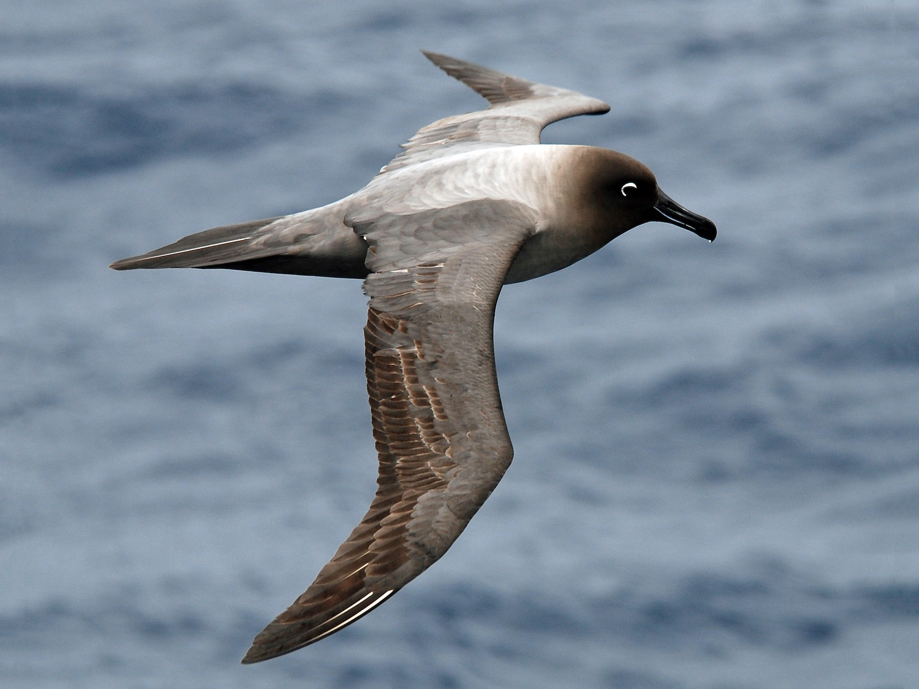 Light-mantled Albatross - Nigel Voaden