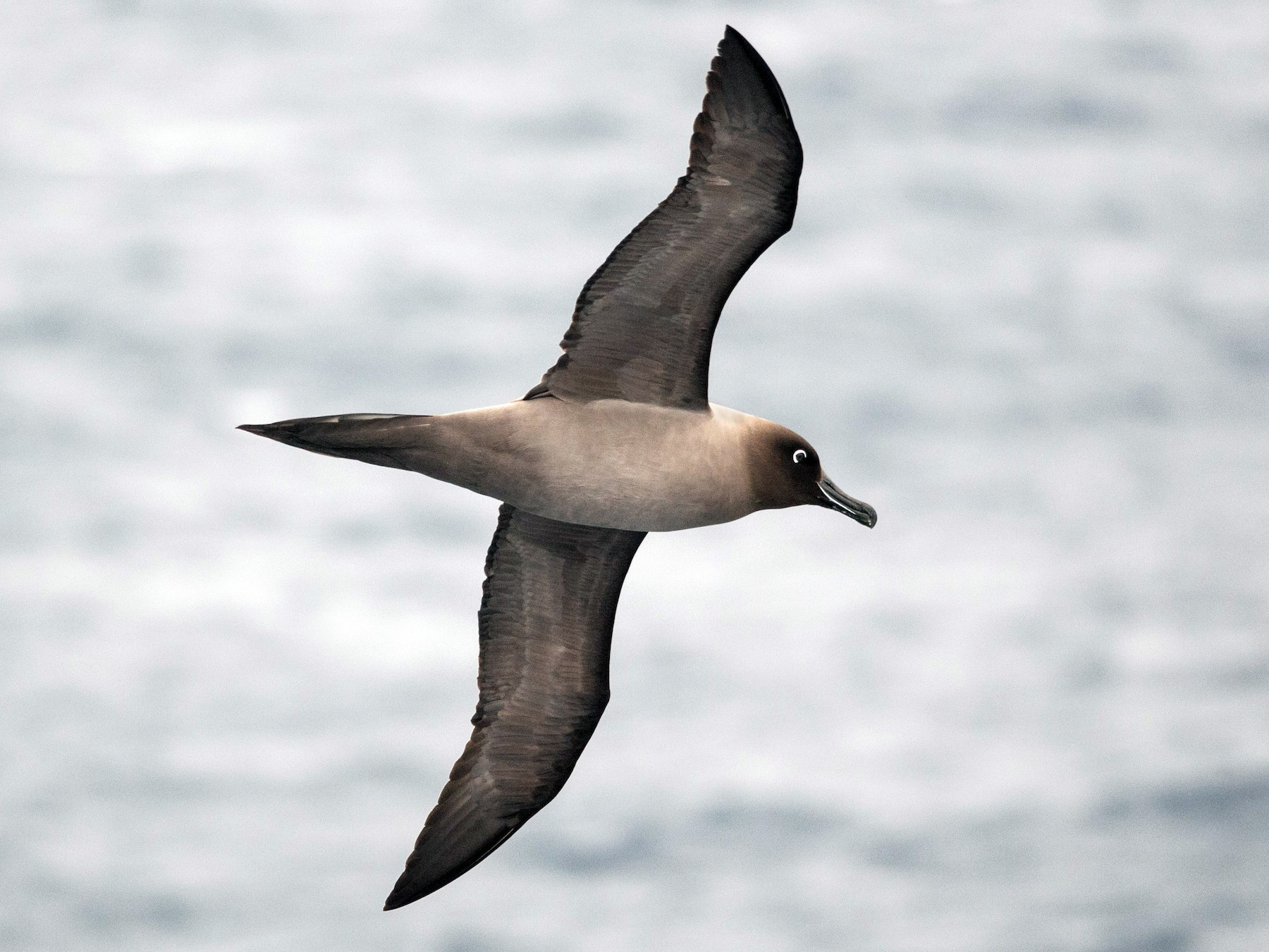 Light-mantled Albatross - Ken Wright