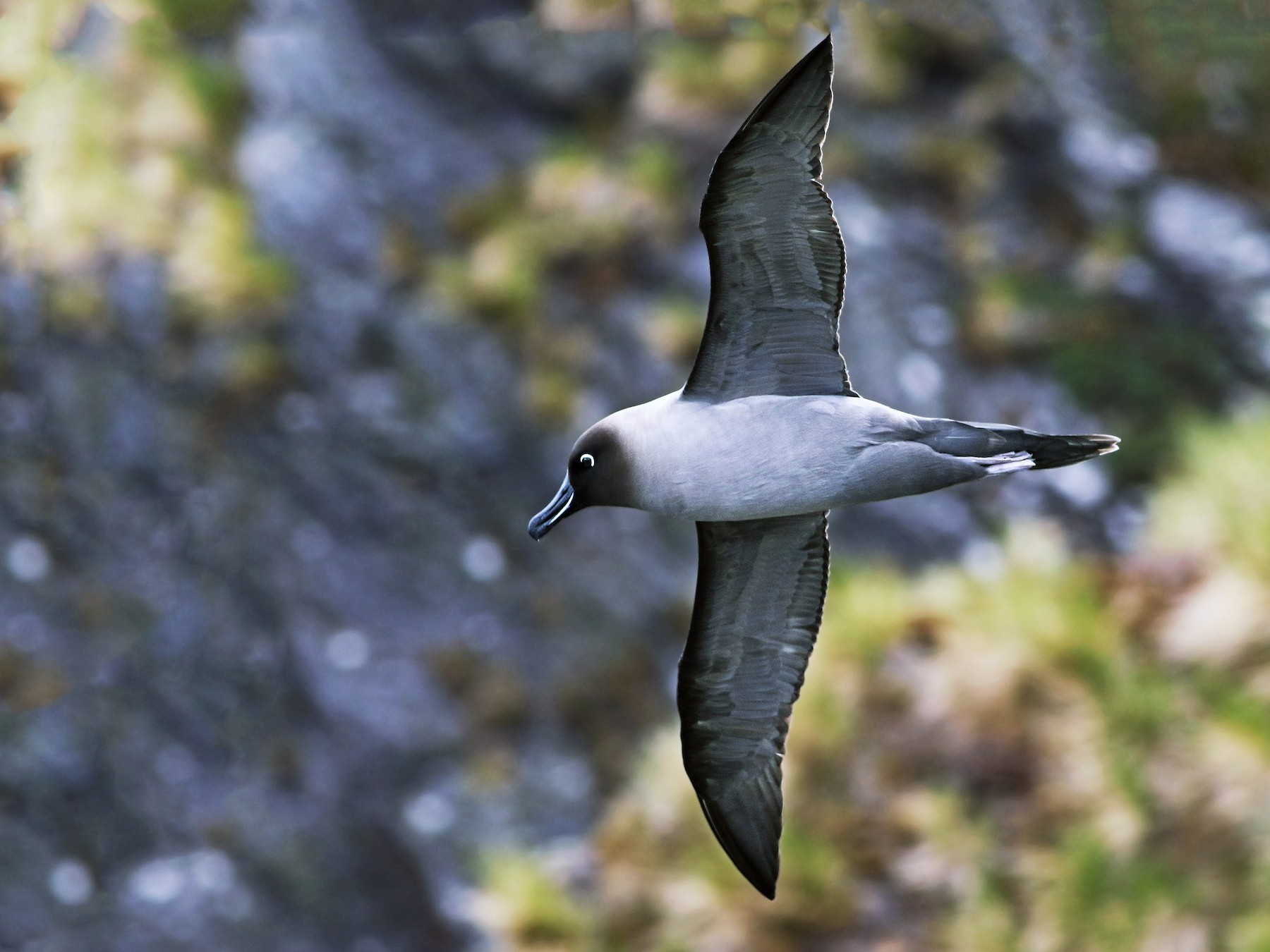 Light-mantled Albatross - Andrew Spencer