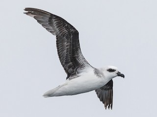- White-headed Petrel