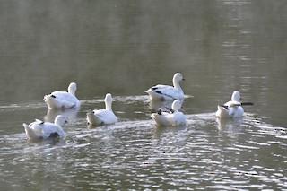 Snow Goose, ML116468651