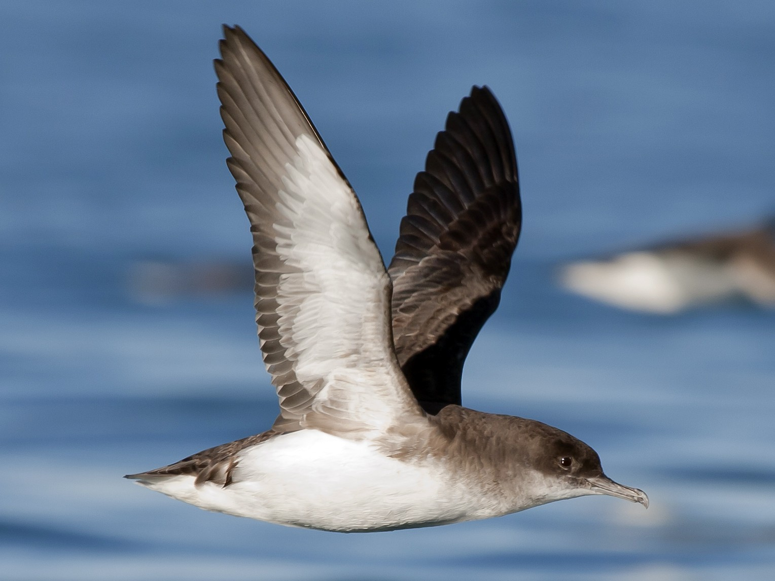 Fluttering Shearwater - Rob Martin