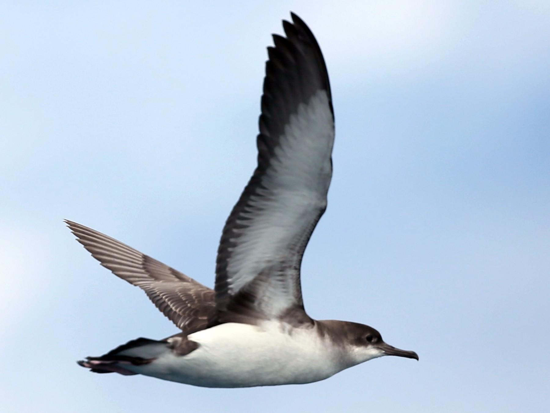 Fluttering Shearwater - Ian Halliday