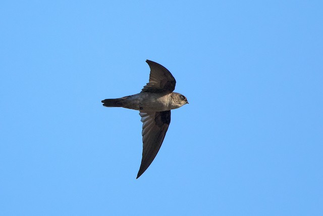 Himalayan Swiftlet (Indochinese)