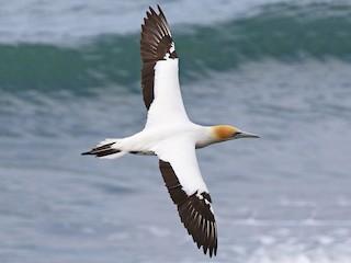 - Australasian Gannet