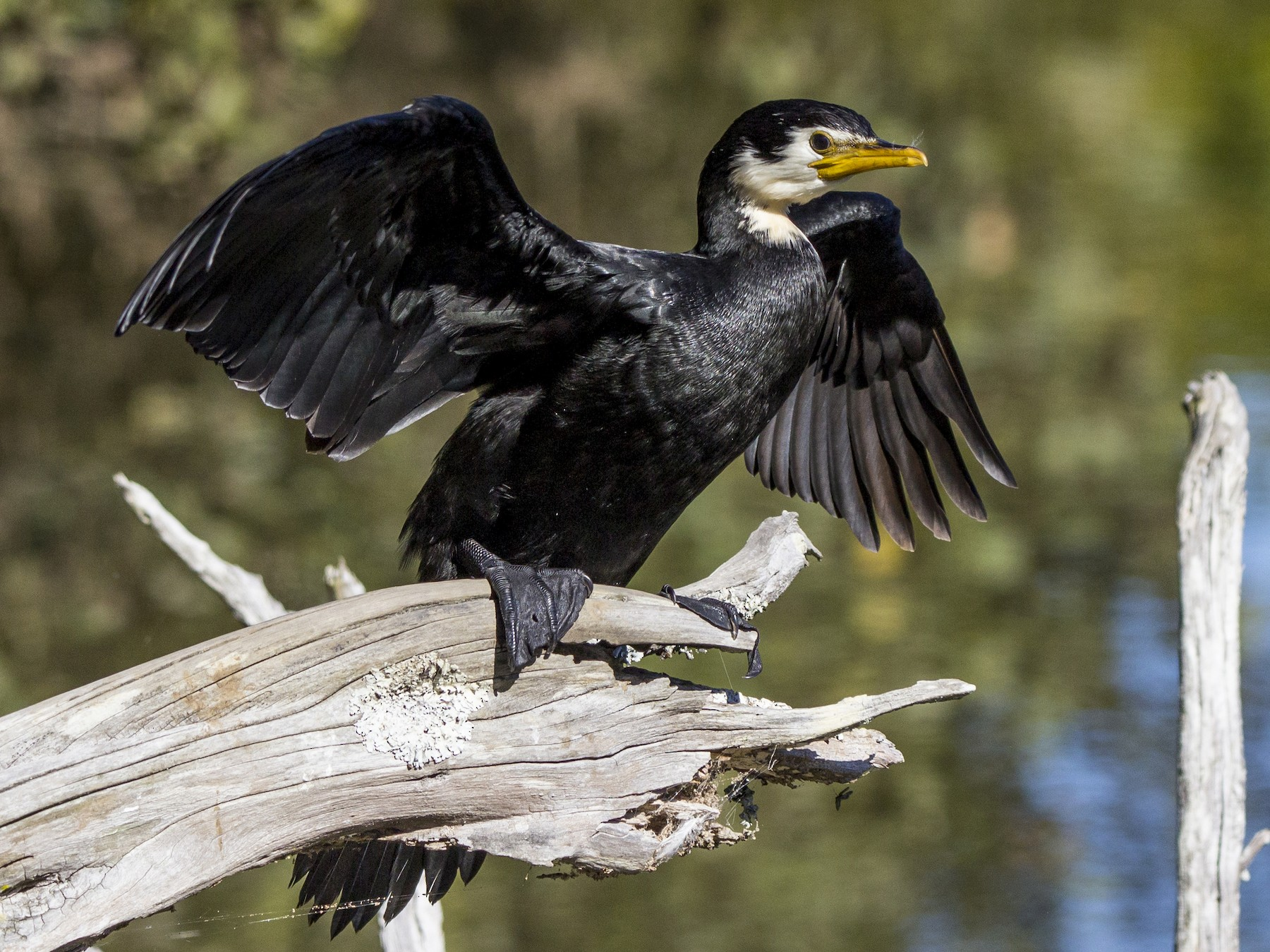 Little Pied Cormorant - Oscar Thomas