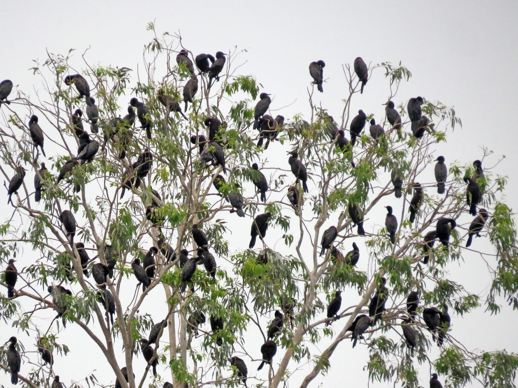 Little Black Cormorant - Edward Allen
