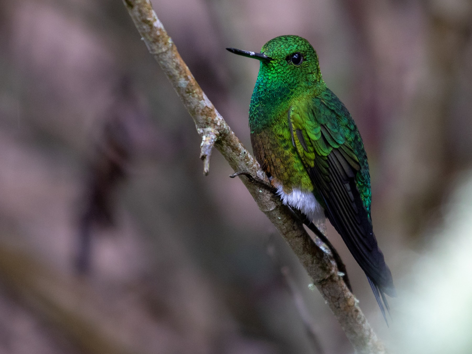 Coppery-bellied Puffleg - Drew Weber