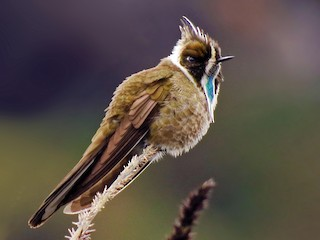 - Green-bearded Helmetcrest