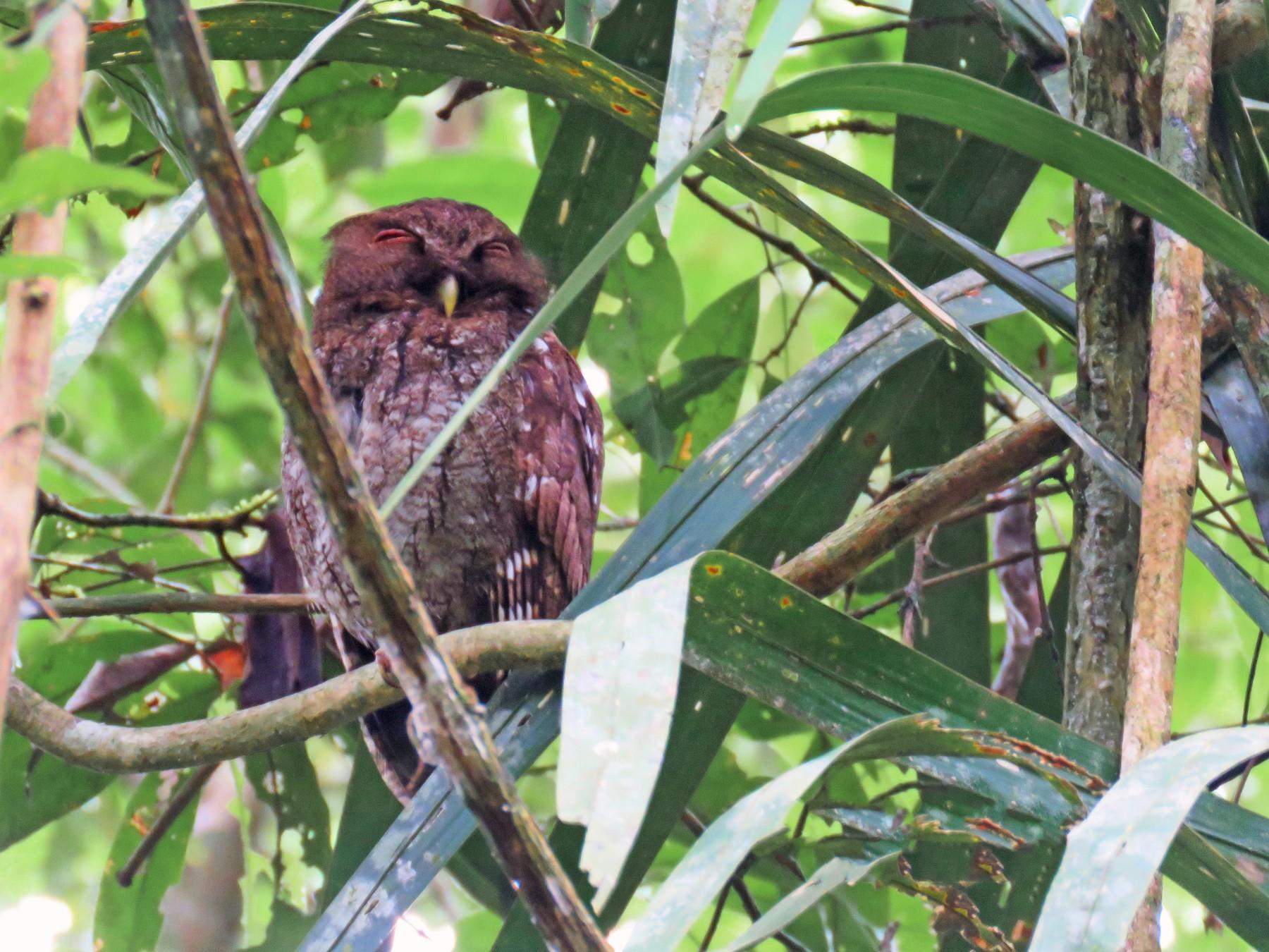 Choco Screech-Owl - Rolando Jordan