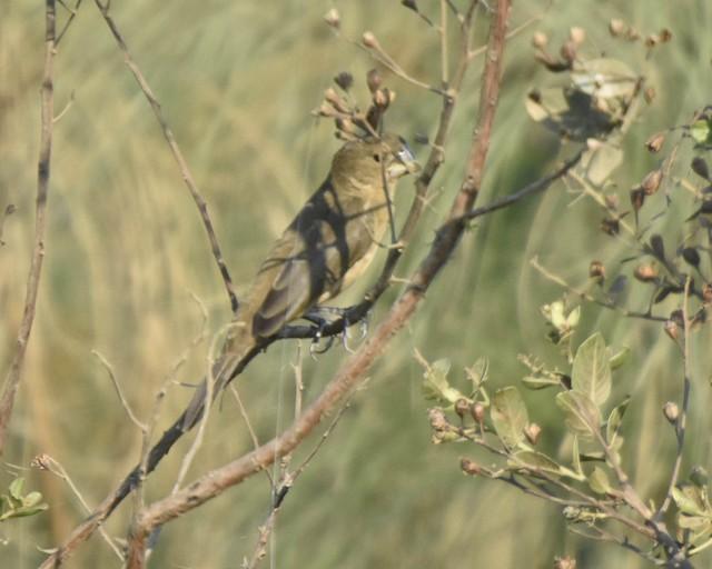Great-billed Seed-Finch