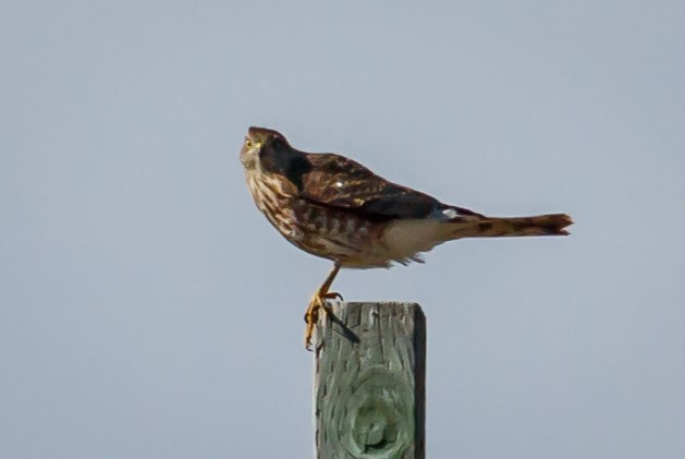 Sharp-shinned Hawk (Northern)