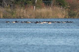 Canada Goose, ML117147121