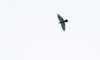 Rock Pigeon (Feral Pigeon), ML117160431