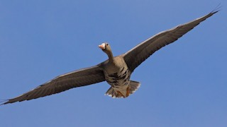 Greater White-fronted Goose, ML117241051