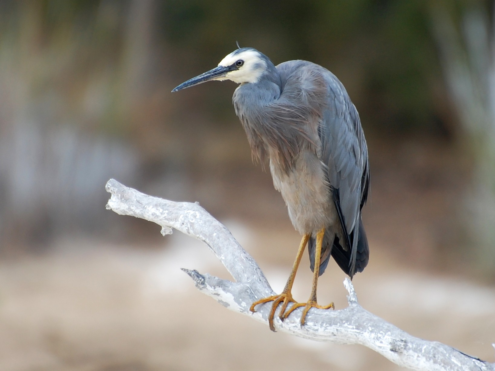 White-faced Heron - Dirk Tomsa