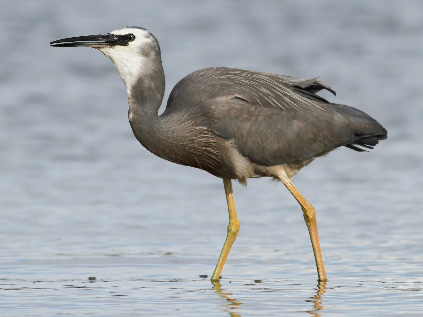 White-faced Heron - Evan Lipton
