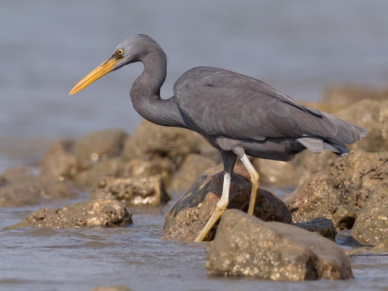 Pacific Reef-Heron - Ian Davies