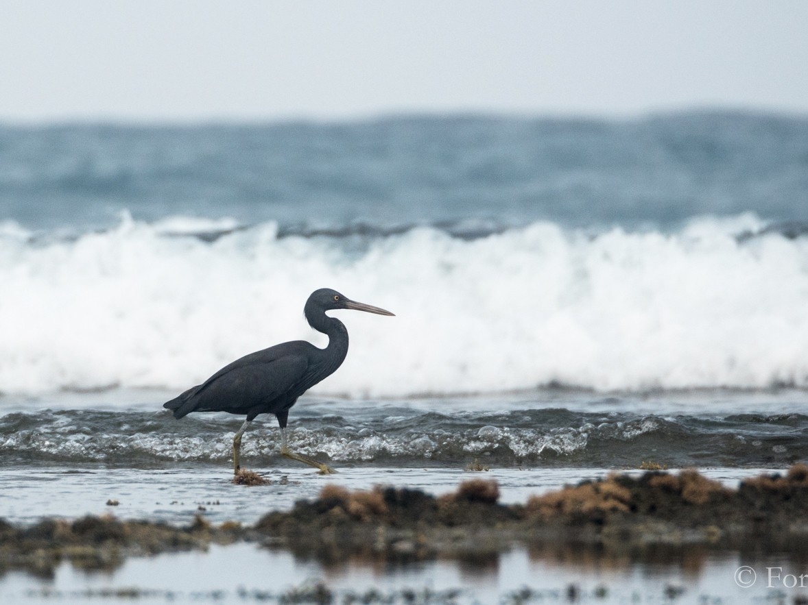 Pacific Reef-Heron - Forest Jarvis