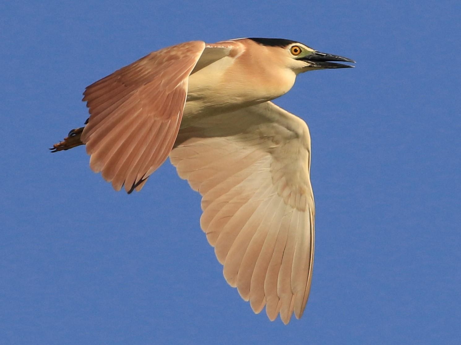 Rufous Night-Heron - Patrick MONNEY