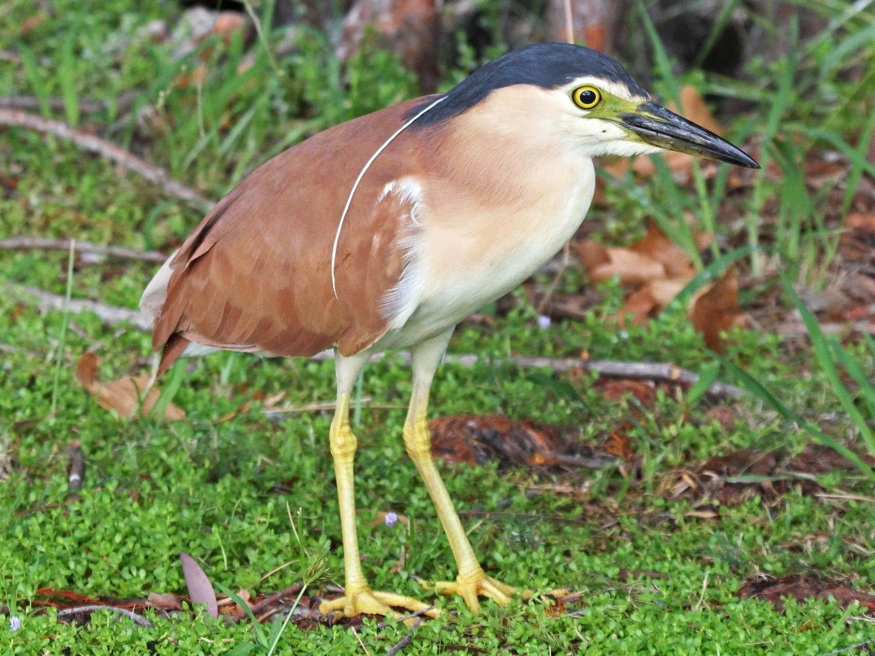 Rufous Night-Heron - Ray Turnbull