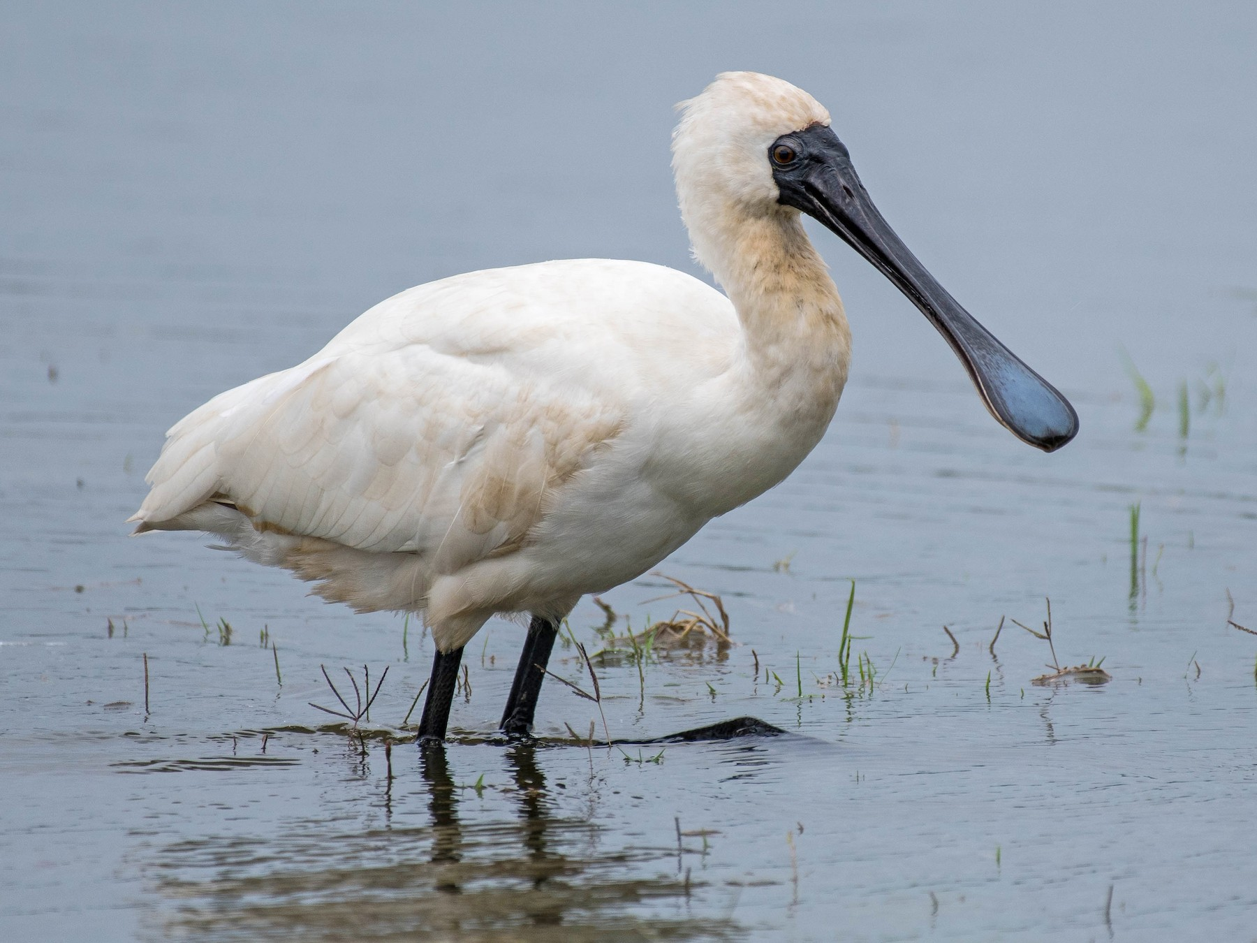 Royal Spoonbill - Terence Alexander