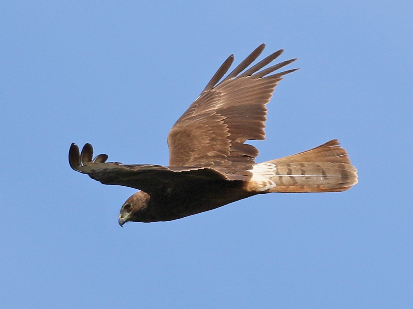Swamp Harrier - Charlotte Byers