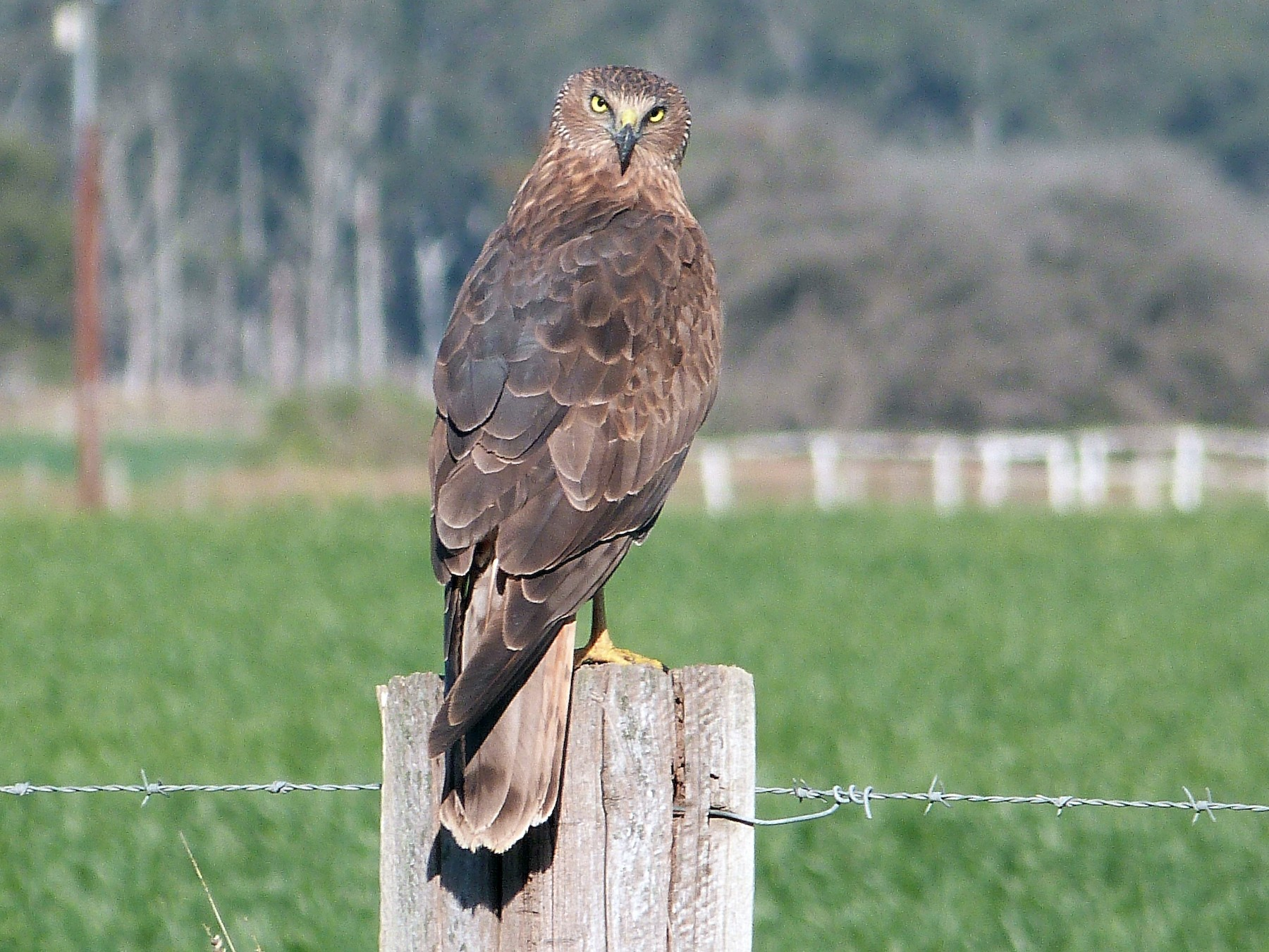 Swamp Harrier - Tim Nickholds