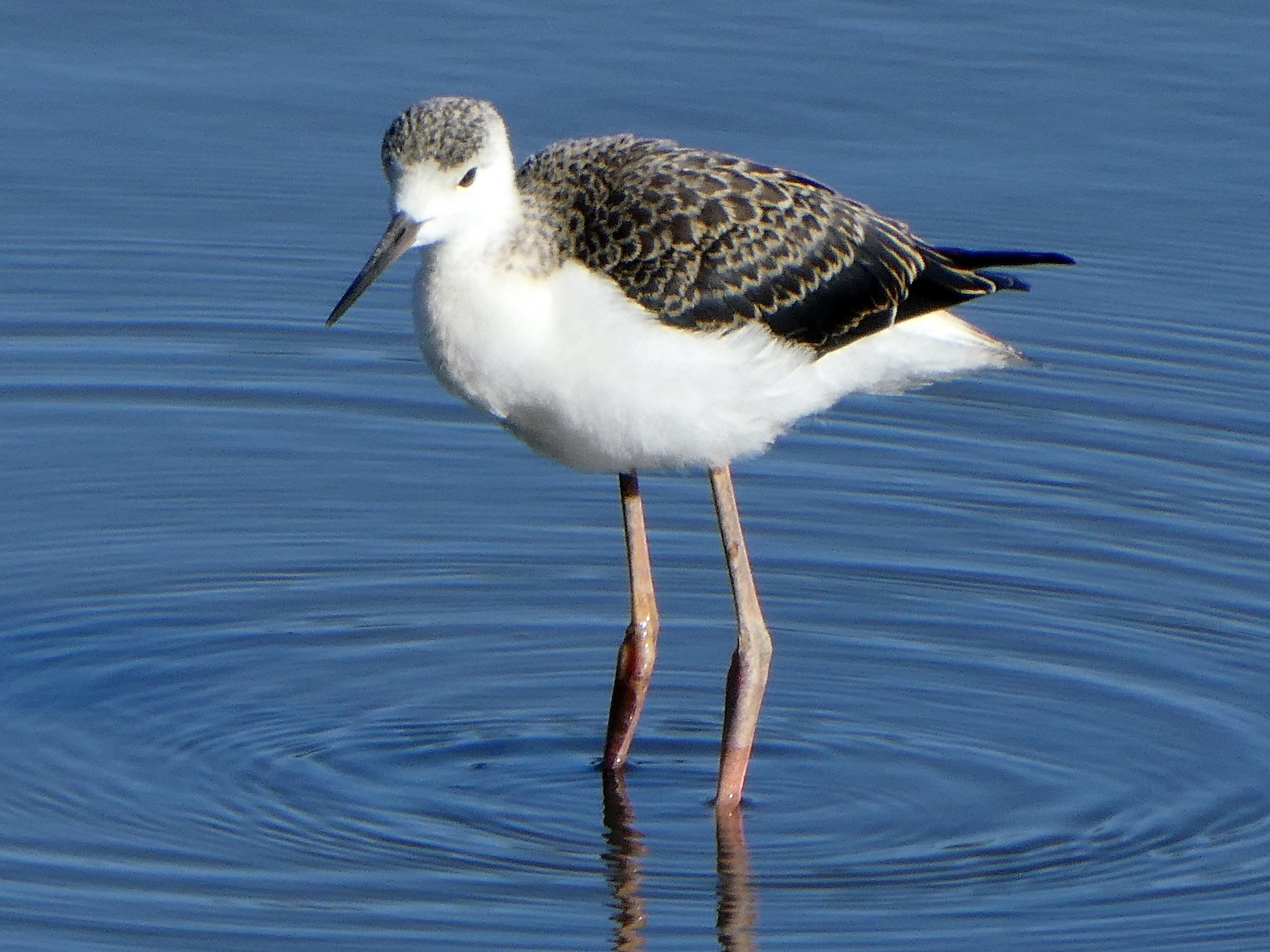 Pied Stilt - Shelley Altman