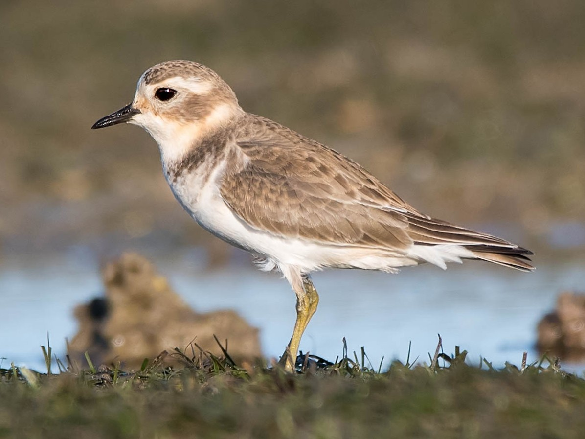 Double-banded Plover - Hayley Alexander