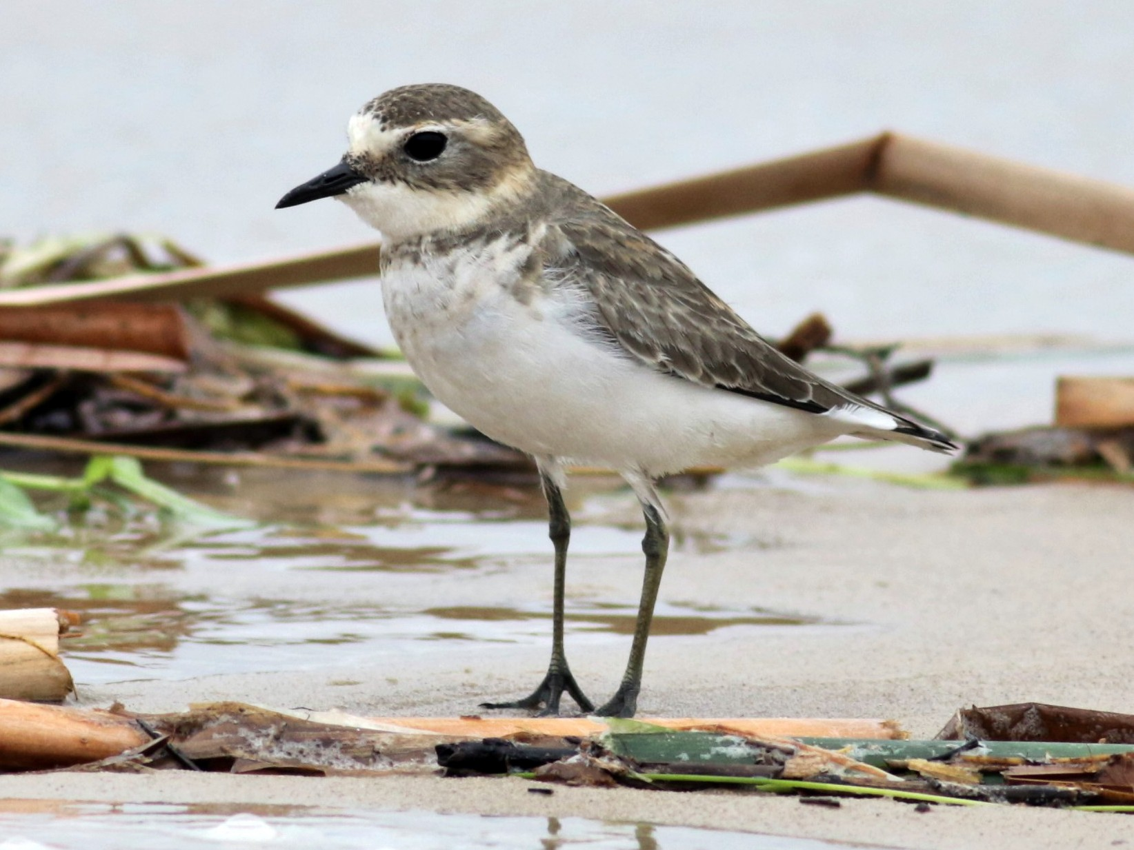 Double-banded Plover - Hans Wohlmuth