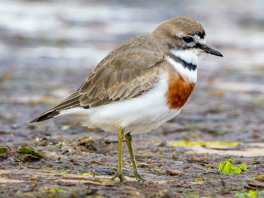 Double-banded Plover - Luke Shelley