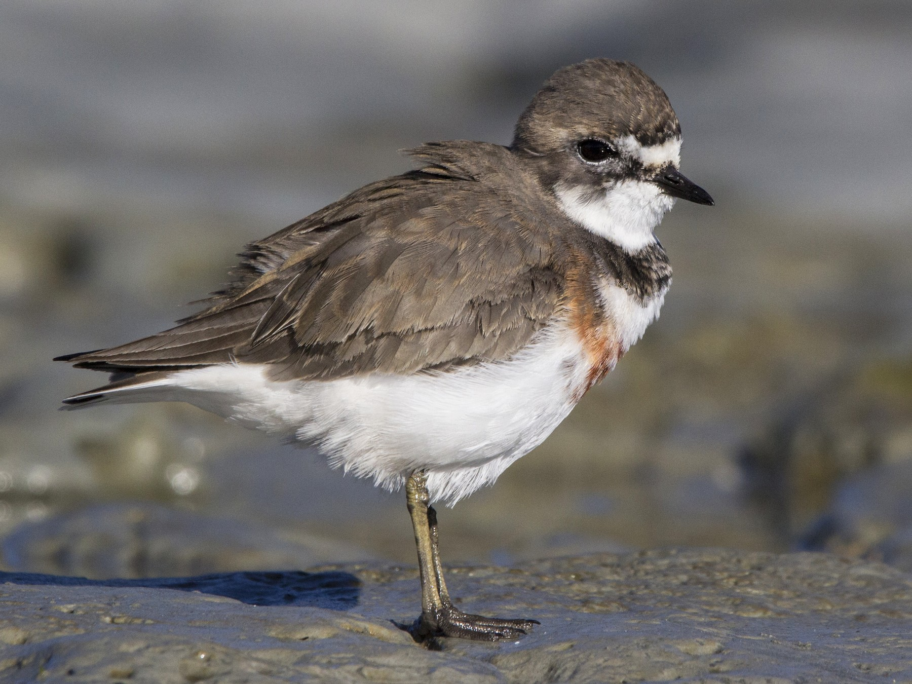 Double-banded Plover - Oscar Thomas