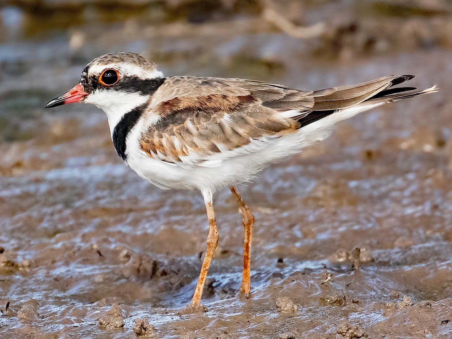 Black-fronted Dotterel - Julie Clark