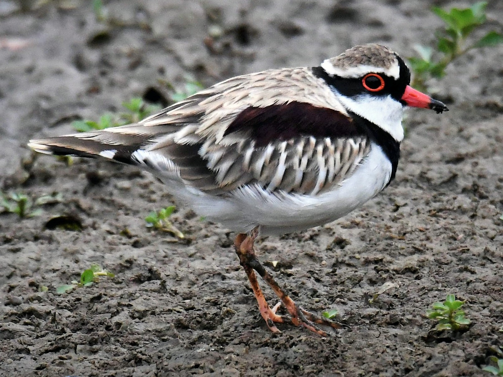 Black-fronted Dotterel - Chris Munson