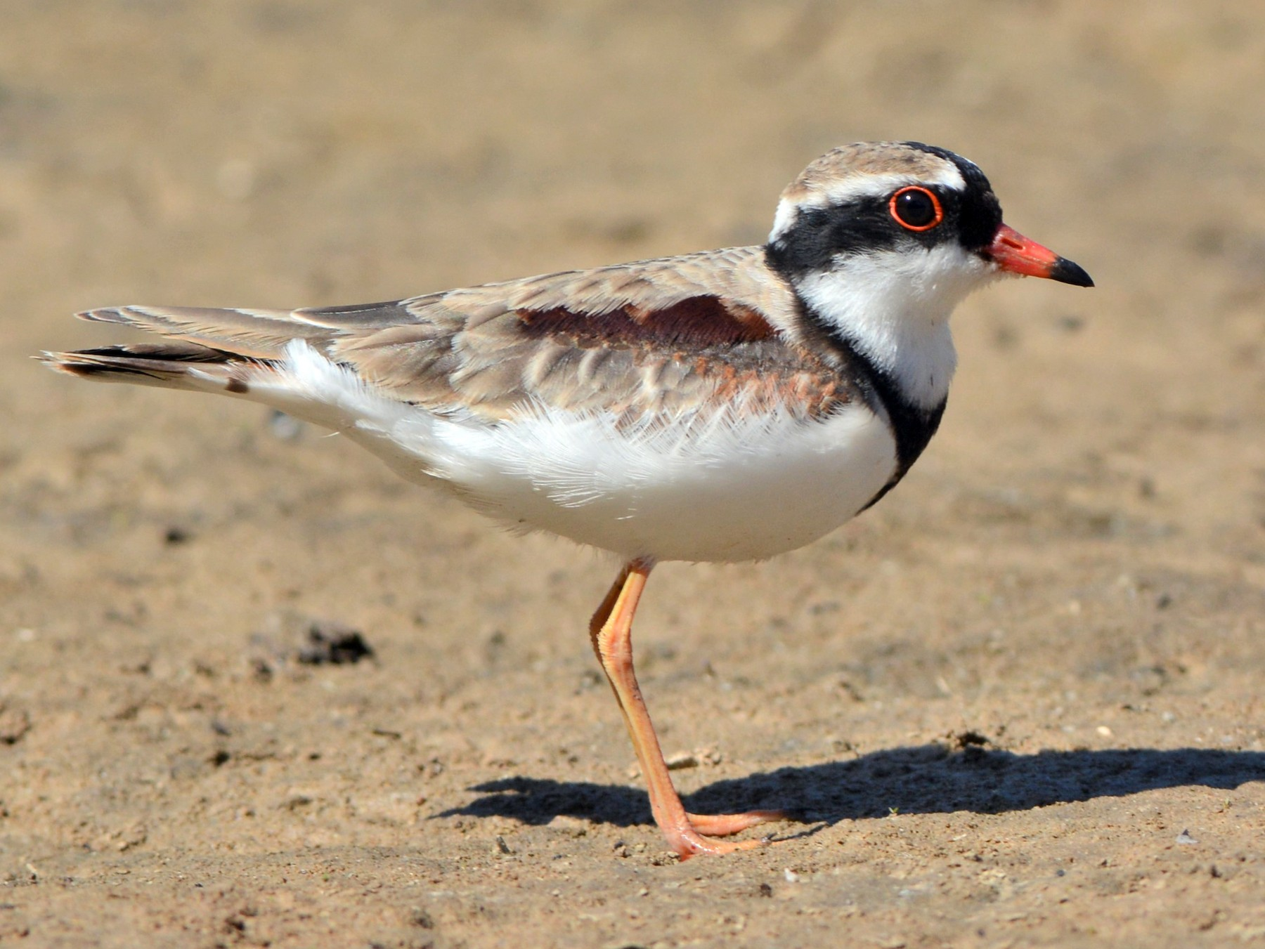 Black-fronted Dotterel - David Hollie