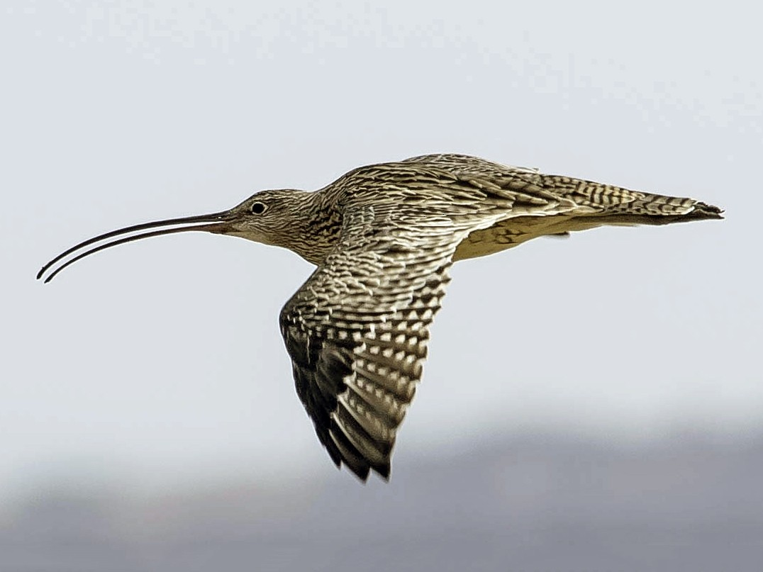 Far Eastern Curlew - Adam Fry